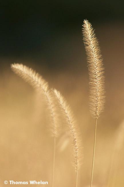 Backlit foxtails