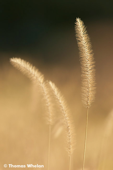 Backlit foxtails