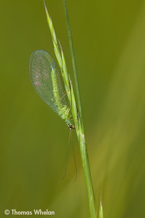 IMG_3693-1lacewing