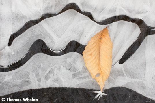 7 Beech leaf, stream ice