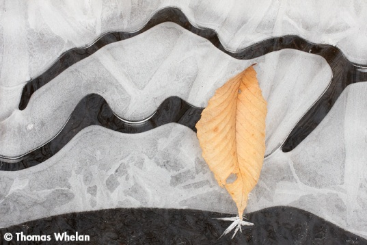 7 Beech leaf, stream ice