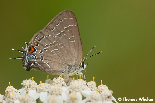 5_MG_9161-3banded-hairstreak