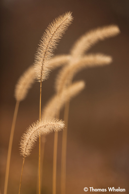 _MG_9850-2foxtails