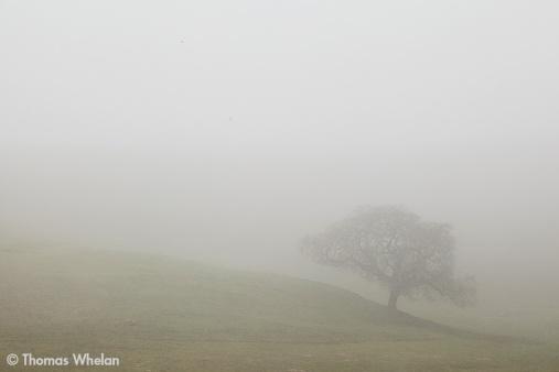 Pasture oak in fog