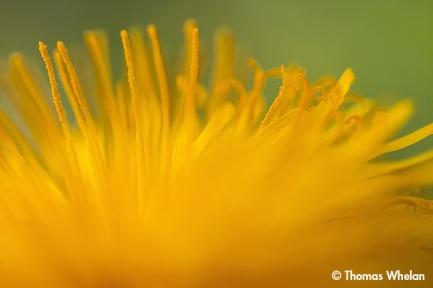 IMG_1495-2-dandelion