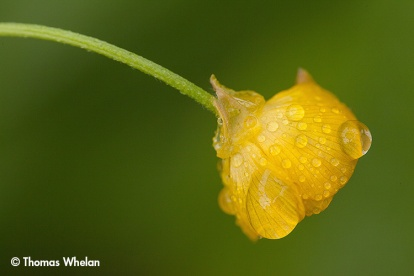 IMG_3168-6-buttercup