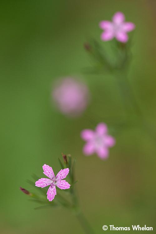 IMG_4514-deptford-pink