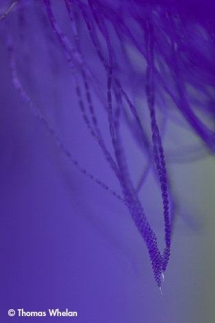 Spiderwort filaments