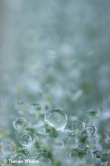 Dew on a foxtail