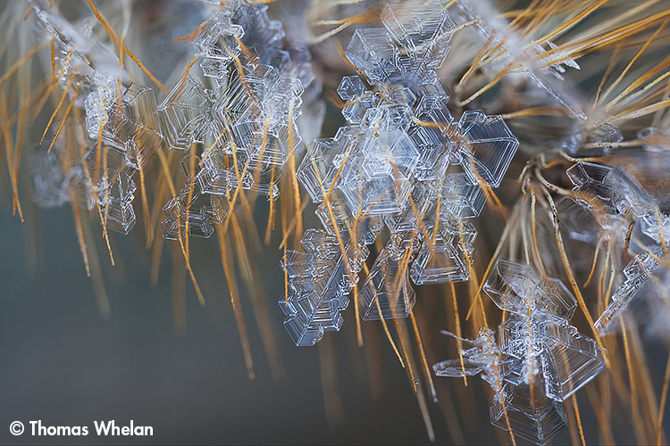 11. Foxtail frost