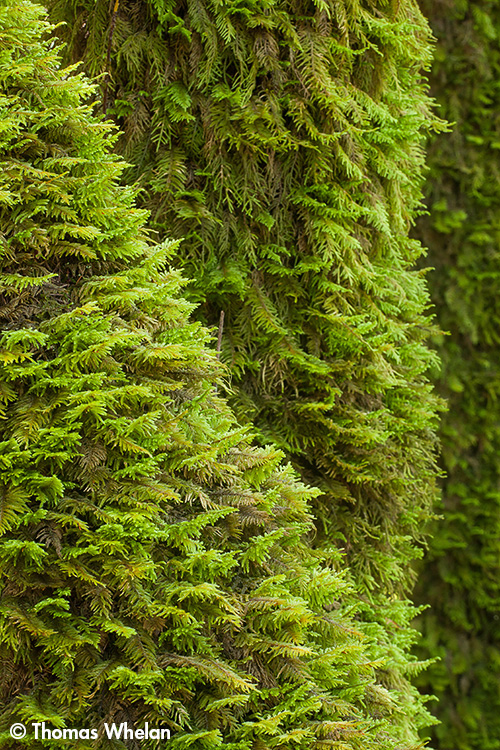 IMG_5268-moss-tree