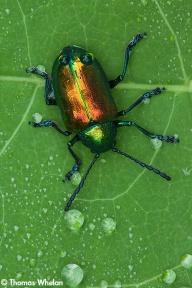 Dogbane beetle