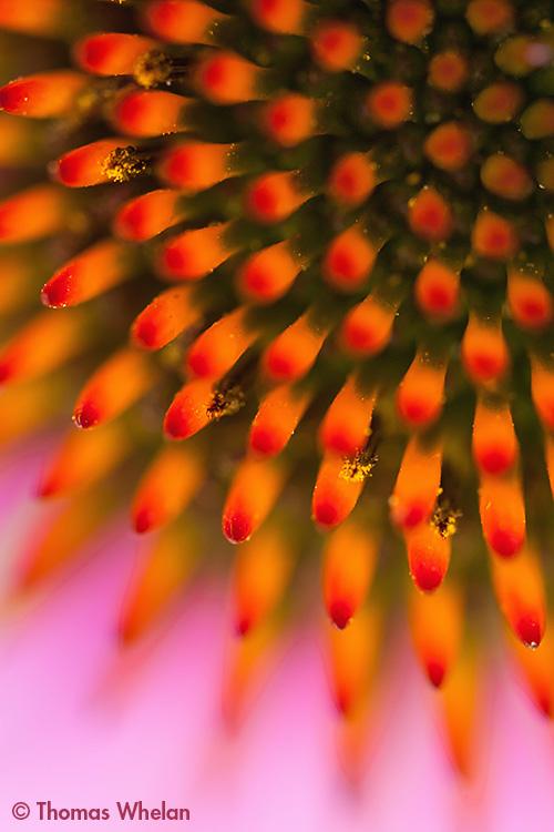 IMG_0880-echinacea