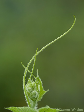 Squash buds and tendrils