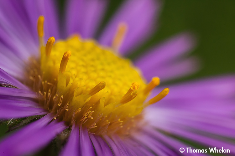 _MG_2262-2-ne-aster-close