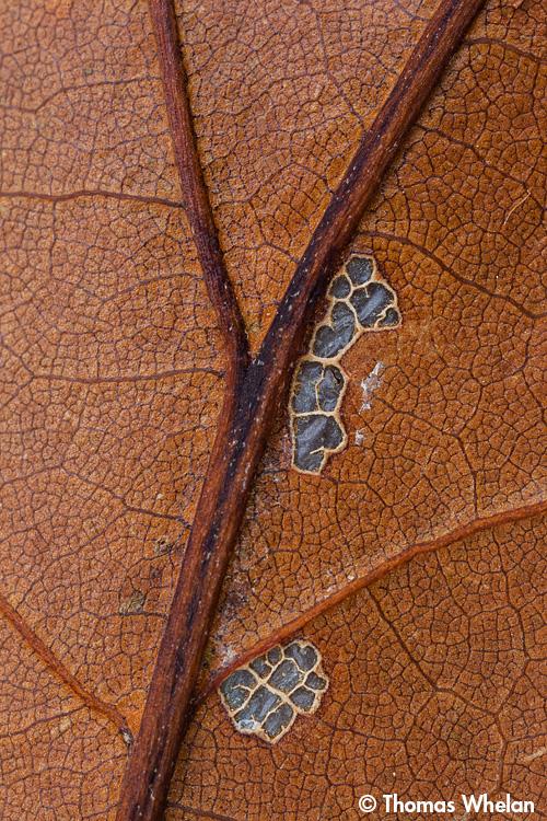 _MG_3586-leaf-skeleton