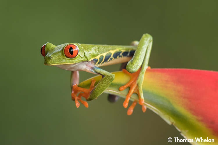 F61A0905-red-eyed-tree-frog