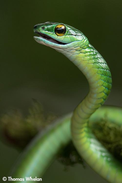 F61A0970-mex-parrot-snake