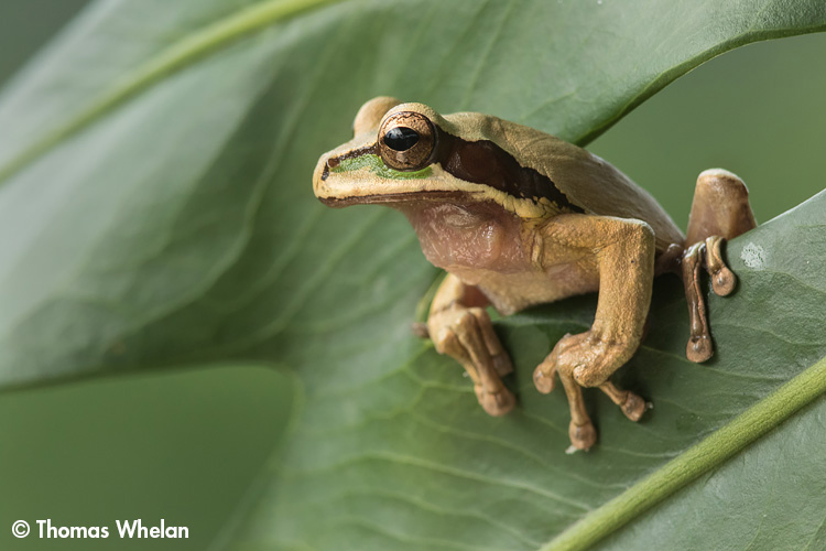 F61A1002-masked-frog