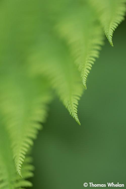 _61A2677-3-ferns