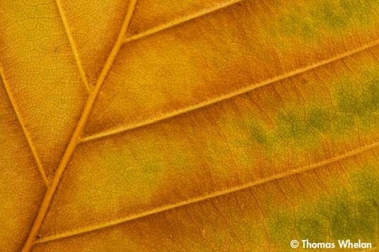 Beech leaf abstract