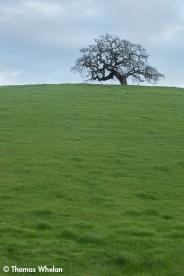 Oak on a hill