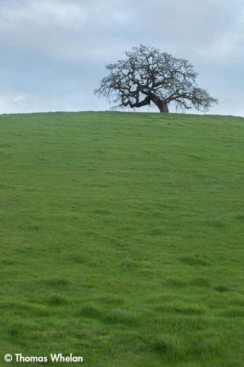 Oak on a hill