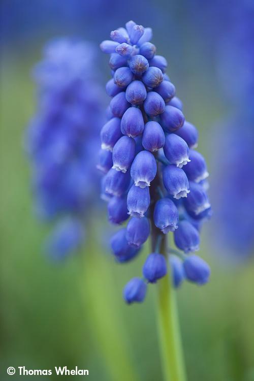 _MG_4029-hyacinth