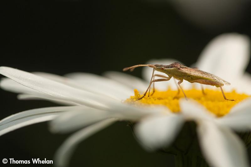 _MG_0596-2-plant-bug