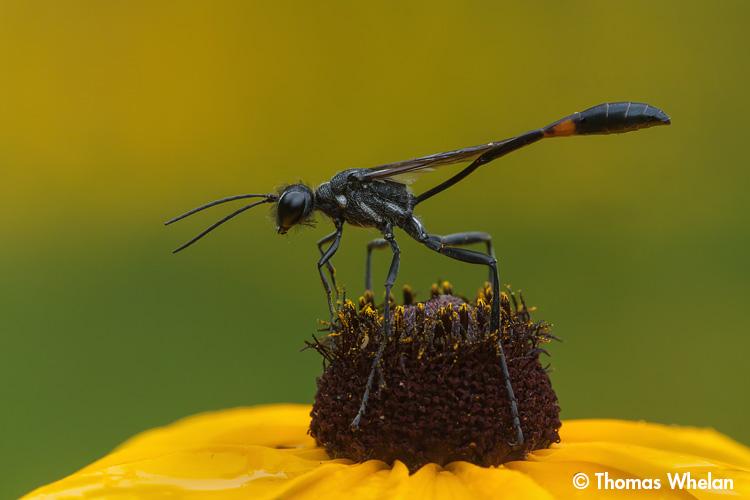 _MG_1622-3-wasp