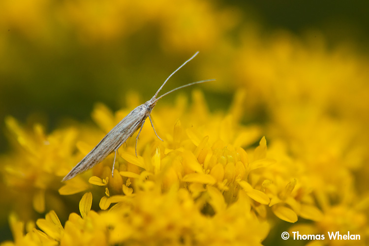 _MG_2219-2-moth-goldenrod