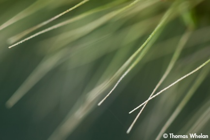 Foxtail spikes
