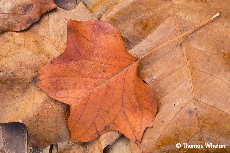 _mg_4203-2-tulip-tree-leaves