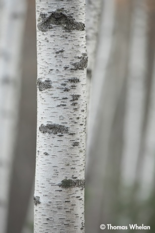 The birches