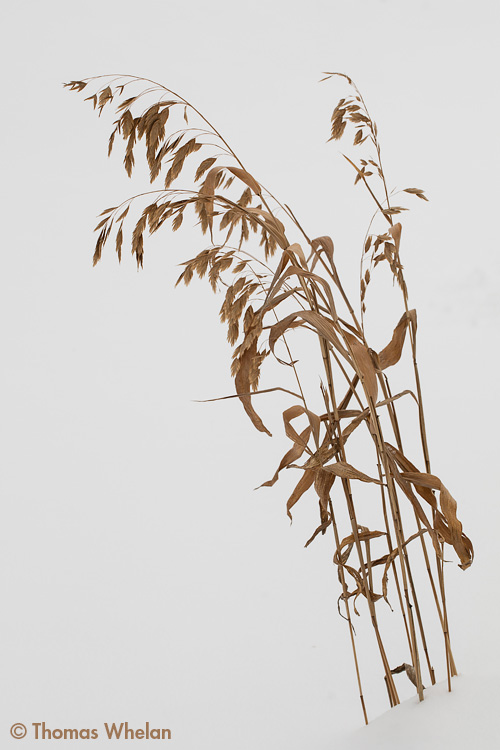 _mg_5812-2-sea-oats