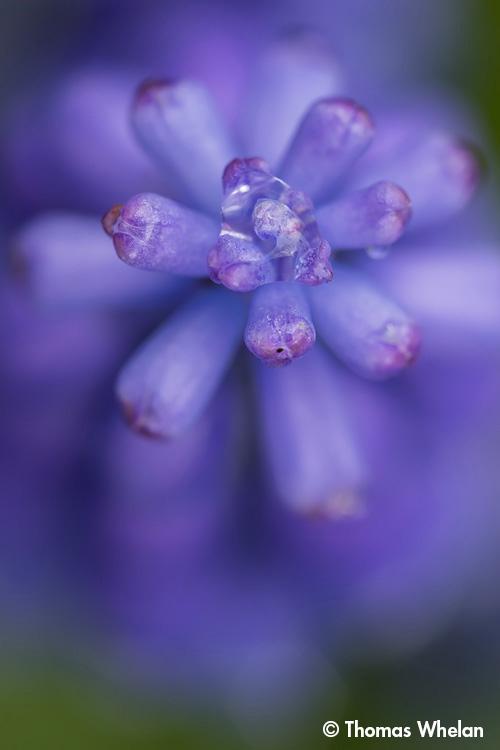 255A6833-2-hyacinth2
