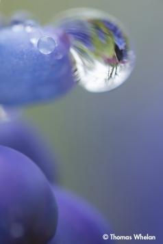 Drop space (hyacinth