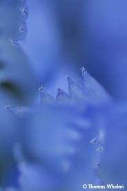 Chicory petals