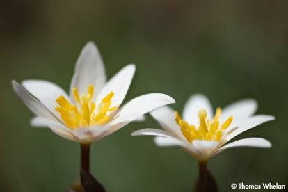 Two bloodroot