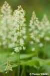 _55A2942-foamflower