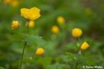 _55A8190-wood-poppy