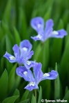 (A-4)_55A8263-iris