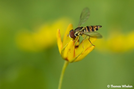 Syphid fly on ywllow loosestrife