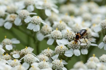 Yarrow and beetle