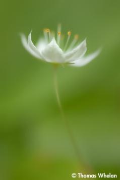 Starflower