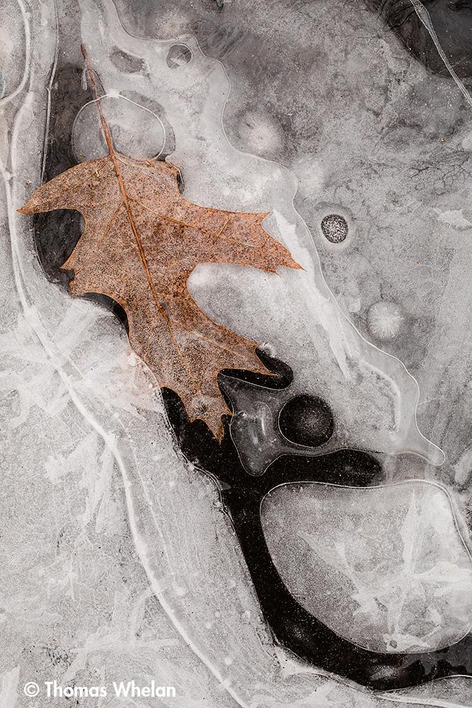 _55A2277-leaf-ice-1000