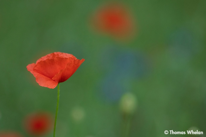 Poppy and cornflower