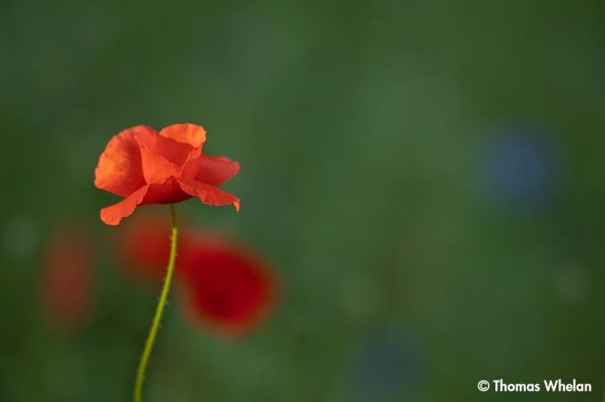 _55A4208-poppy