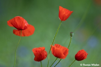 _55A4223-poppies