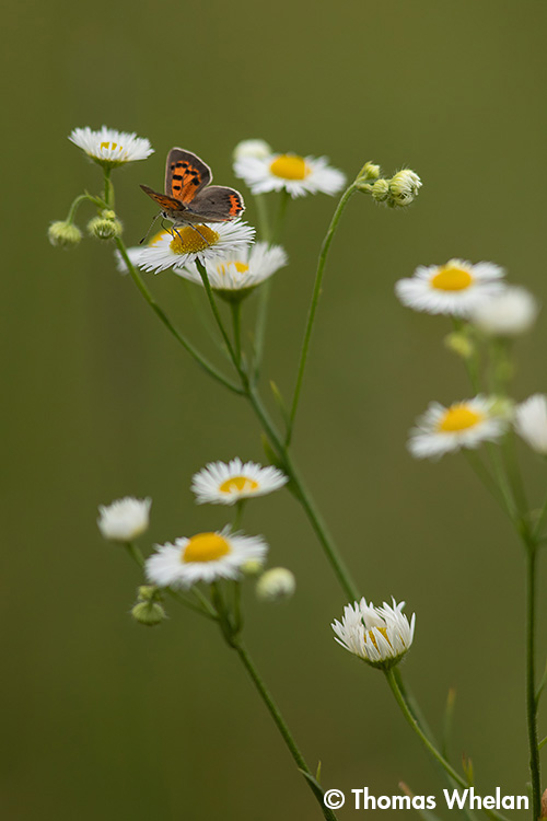 Fleabane and American Copper